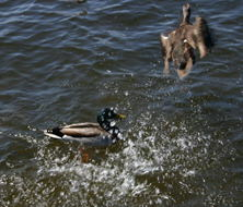 Ducks being territorial.  The male has chased away the female.