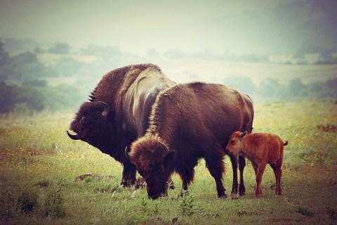 famille de bisons.
