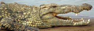 alligators-001-couverture-facebook