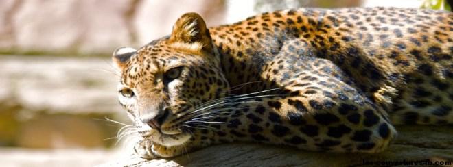 léopard -Photo de couverture journal Facebook
