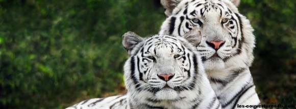 couple tigres blanc-photo de couverture journal facebook