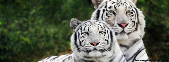 couple tigres blanc-photo de couverture journal facebook