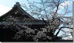 cerisiers-tokyo2--filles-du-thé