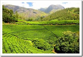 plantations-inde-les-filles-du-the-darjeeling