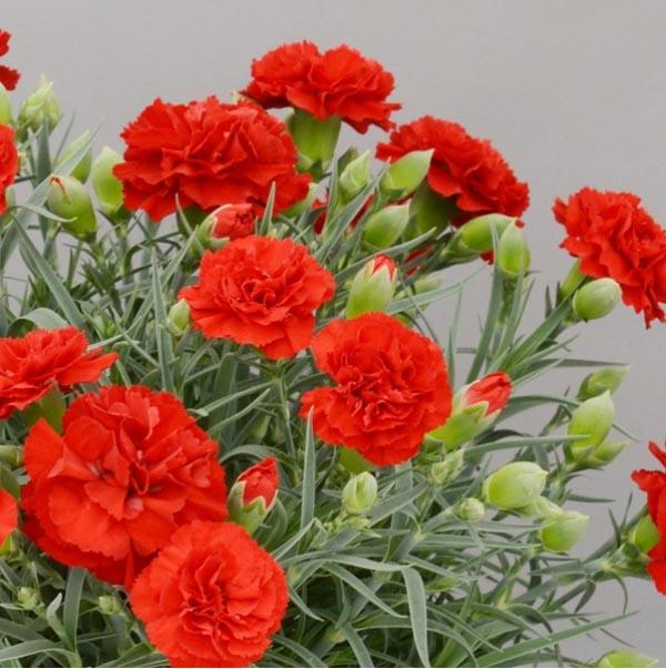 ブルームアンドストライプス,赤いカーネーション鉢植え,リュクスレッド,BLOOM & STRIPES,母の日,2020,