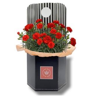 ブルーム&ストライプス,カーネーション鉢植え,リュクスレッド,BLOOM & STRIPES,母の日,2020,