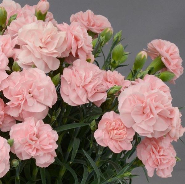 ブルーム&ストライプス,カーネーション鉢植え,プレシャスピンク,,BLOOM & STRIPES,母の日,2020,