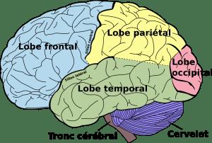 Les lobes cérébraux (vue latérale)