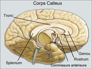 Illustration du corps calleux