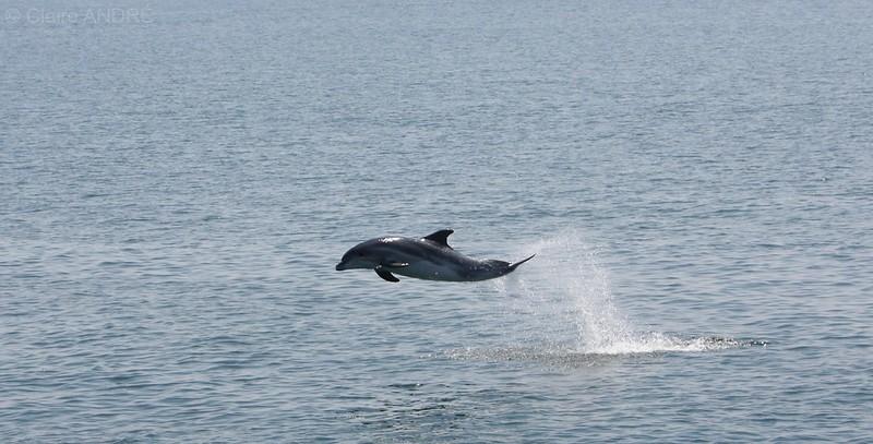 dauphin entre les voiliers de chausey