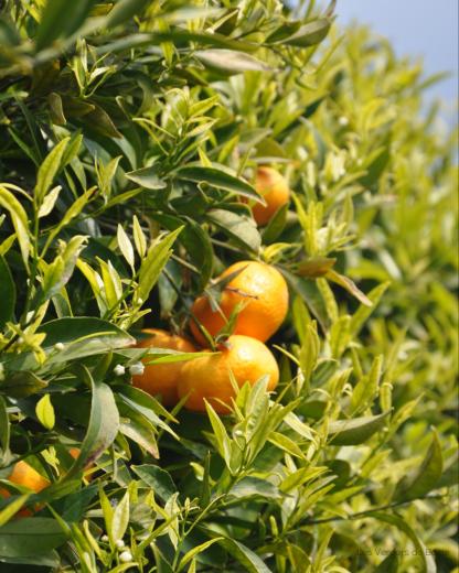 Mandarine - VERGERS DE BOIRIE A MENTON (2)