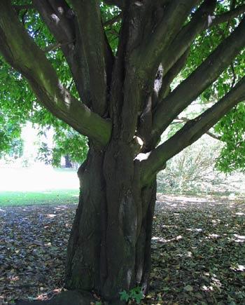 Эбеновое дерево (чёрное дерево) | Справочник ...