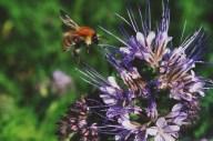abeille bourdon pollinisateur phacelie