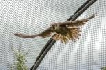 Faucon pèlerin - Falco peregrinus (Domaine Des Oiseaux, Centre de Soins) 11 juin 2016
