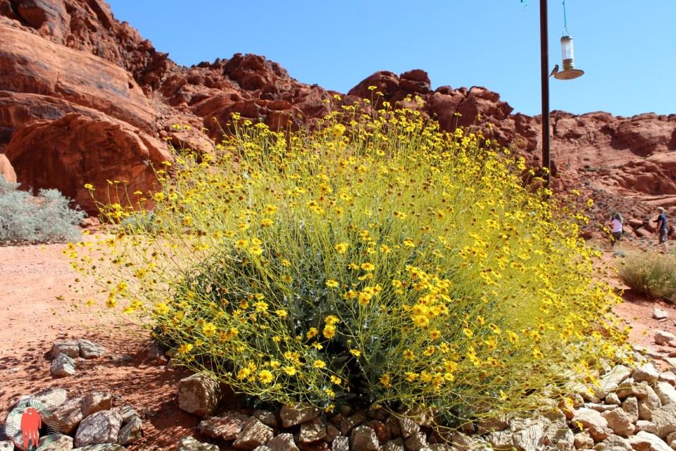 Fleurs jaunes, Vallée du feu