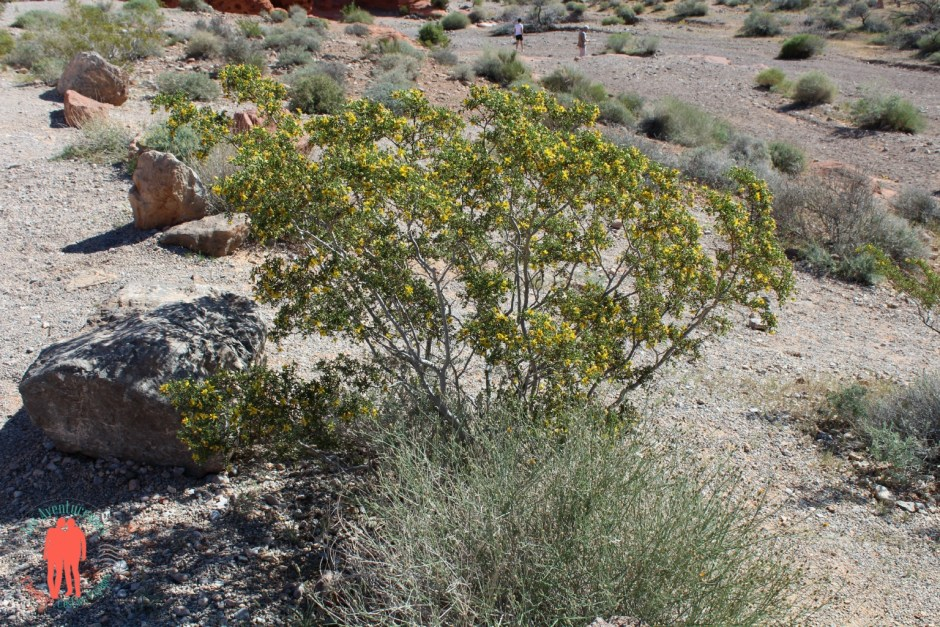 Plantes Spécifiques de la Vallée du Feu