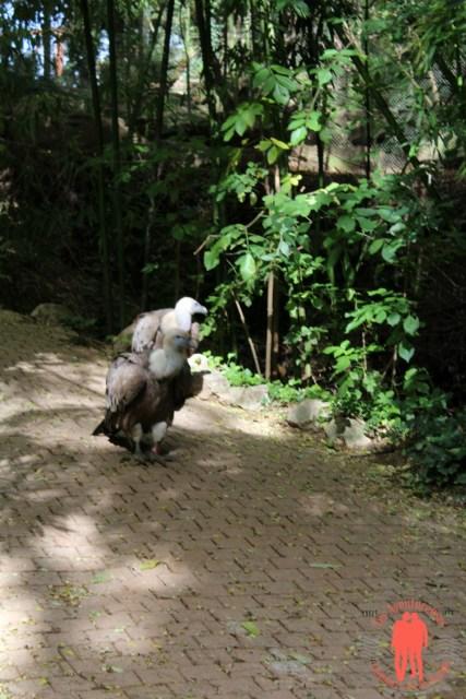 Bio Parc Doué la fontaine - Deux vautours en vadrouille