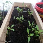 AccidentalPepperPlants-2016 (This Greenhousey Thing Might Be Panning Out…)