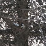20180212_165918 (Chickadee = Squirrel)