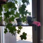 20180323_112817 (Blooming Ivy Geranium…)