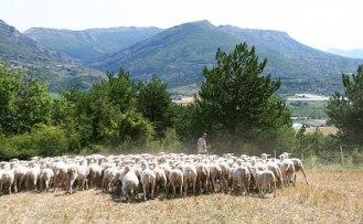 Brebis préalpes avec berger