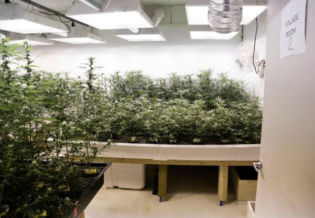 Plants de marijuana clonés sont représentés à Sea of Green Farms à Seattle, Washington. Le 30 Juin 2014. (Photo de Jason Redmond / Reuters)