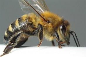 abeille, ruche, budget participatif