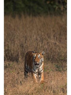 15. Photographie d'un imposant tigre en plein milieu des brouissailles quelque part en Asie. Idéal pour un intérieur zen et nature.