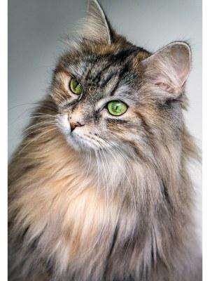 17. Portrait d'un chat Norvégien au regard vert émeraude et au pelage argenté. Idéal pour la décoration d'un salon ou d'une chambre, pour un intérieur zen et nature.