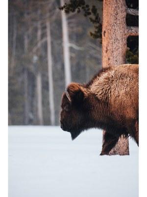 22. Photographie d'un bison essayant de trouver à manger dans la neige au milieu d'une forêt nord américaine. Idéal pour la décoration d'un salon ou d'une chambre, pour un intérieur zen et nature.