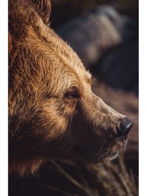 Magnifique portrait en gros plan d'un ours brun. Idéal pour la décoration d'un salon ou d'une chambre, pour un intérieur zen et nature