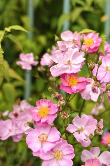 Les jolies roses