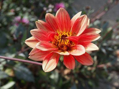 Fleur - Boboli