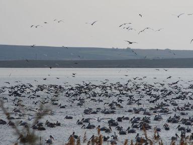 Un nombre incroyable de pélicans et autres oiseaux au lac Vistonida