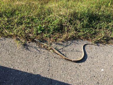 Pas un jour sans croiser des cadavres de serpents