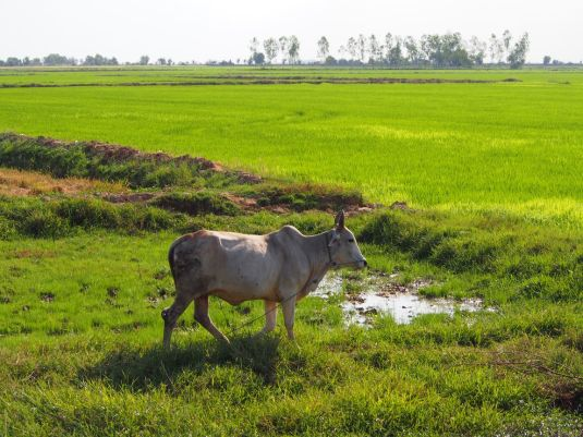 Zébu dans une rizière