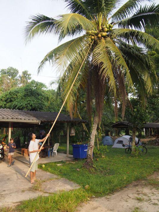 Récolte de cocos