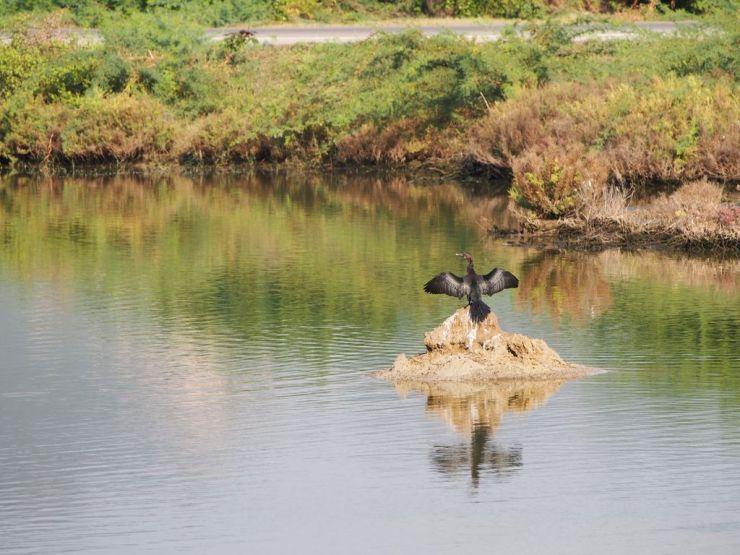 Cormoran au séchage
