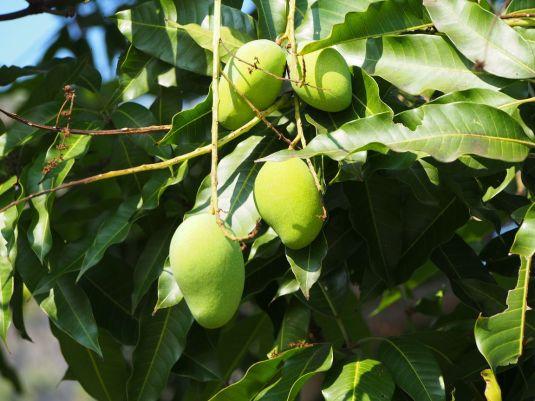 Mangues dans l'arbre