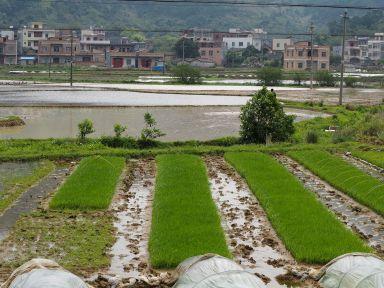 Pépinière de plants de riz