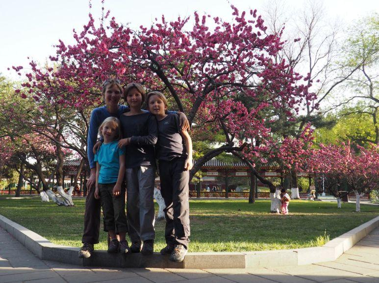 En avril, à Beijing, les cerisiers sont en fleurs