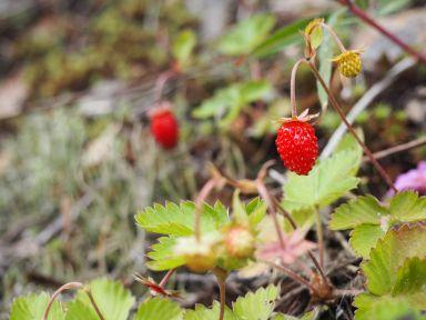 Elles sont au top les fraises des bois !