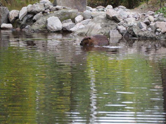 ... puis dans leur étang