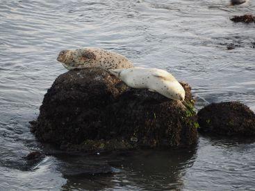 Des phoques dans le port de Monterey