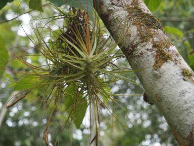 Des plantes épiphytes pendues aux arbres