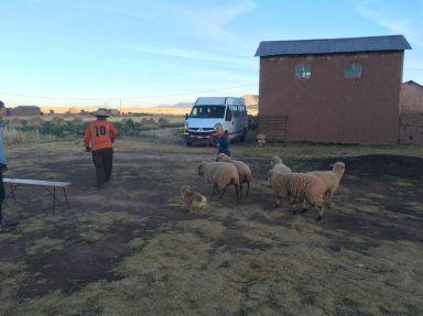 Albane aide Julian à rentrer ses moutons.