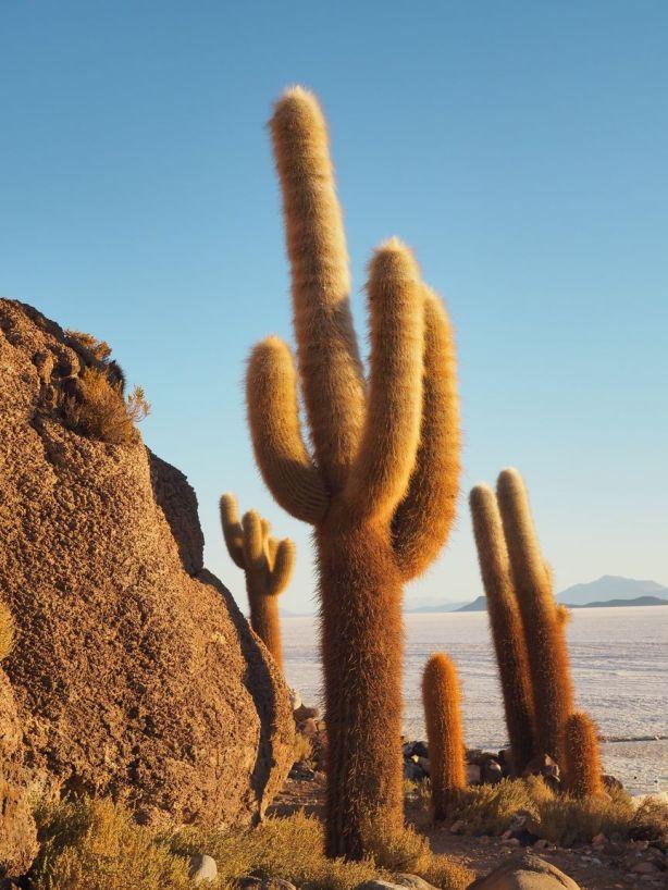 Magnifique cactus trichoreus