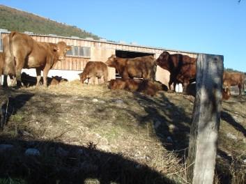 Vaches taureau veaux et l'étable