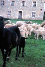 Moutons au Charel