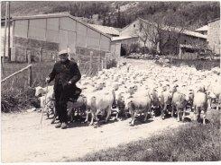 Marcel Moulon et le troupeau